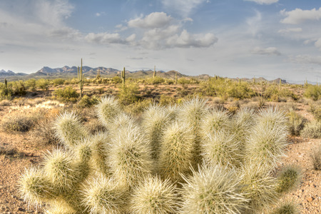superstition: An image of the cholla cactus at Superstition desert in Arizona shows the rugged detail of a dry wilderness