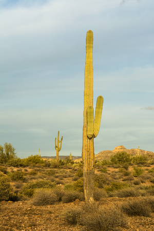 superstition: An image of a saguaro cactus at Superstition desert in Arizona shows the rugged detail of a dry, parched wilderness