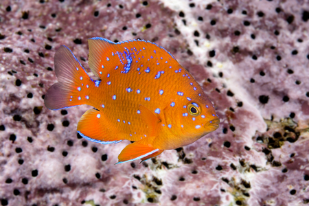 matures: A juvenile garibaldi, the state fish of California, is characterized by its iridescent blue spots, which disappear as the animal matures into an adult.