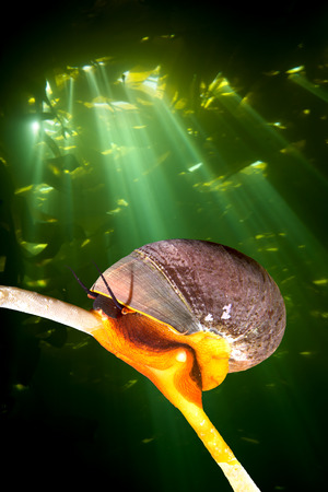 stipe: A bright orange Norris top snail crawls on a kelp stipe while sunshine pierces the kelp canopy, creating a dramatic backdrop