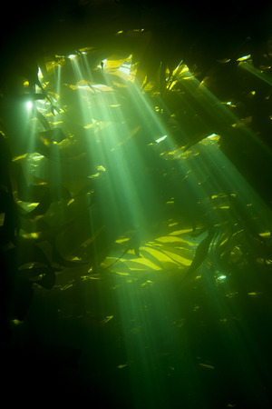 sustain: Sunrays pierce the canopy of kelp, also known as brown algae, which is an essential plant to sustain life within reef systems.