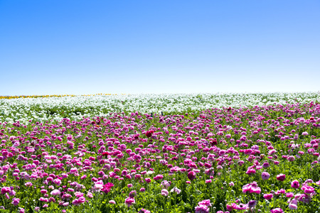 flower fields: A field of pink and white blooming ranunculus flowers during a bright, sunny day shows the beauty of the blooms in springtime