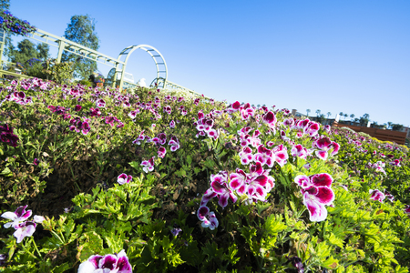 perimeter: In springtime the Flower Fields in San Diego California are in full bloom and vibrant gardens line the entire perimeter of the floral park. Fl Stock Photo