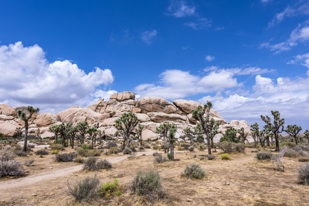 Large Joshua Trees frame the rugged rock formations surrounding the desert landscape. 版權商用圖片