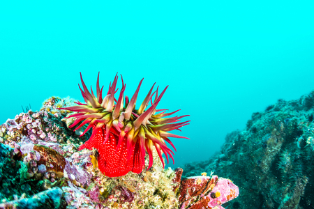 A red rose anemone perched atop a reef in Southern California's Channel Islands