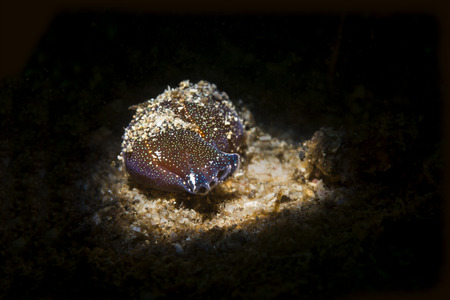 A viscous underwater nudibranch snail crawls along the sandy bottom looking for prey. Shot using a special light beam snoot.