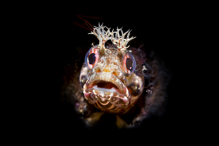 Using special limited beam snoot lighting, I captured this tiny fringe head blenny peering out of a small tube for which the fish lives. Stock fotó