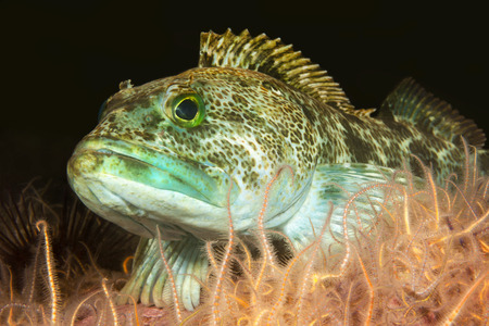 A green lingcod rests in a bed of brittle stars in the waters of Californias Channel Islands.
