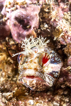 A tiny yellowfin fringehead blenny peering out of a small crevice in the reef. Reklamní fotografie