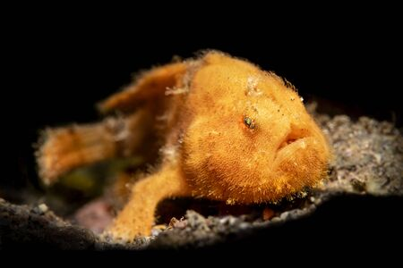 A small, orange frogfish on the sandy bottom of Bali, Indonesia is lit with a snoot and resting motionless to hunt for other tiny fish.