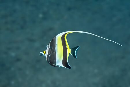A colorful yellow and black moorish idol swims through the open water in the Bali, Tulamben region of Indonesia.