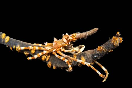 A tiny Xeno wire coral crab on a strand of whip coral at night hunts for small detritus particles drifting in the water. Imagens - 130275025
