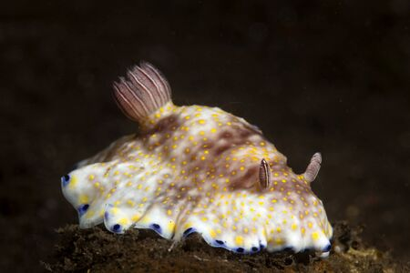 A colorful chromodoris nudibranch snail crawls across the sand bottom at night in search of food.