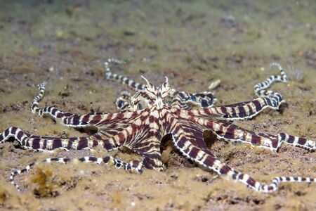 Mimic octopus crawls through a bed of algae Tulamben, Indonesia. These octopus are capable of impersonating other local species of octopus.