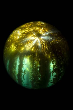 Sunrays burst through the canopy of a thick kelp forest in California's Channel Islands.
