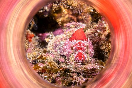 A red mottled coralline sculpin, approximately 3 inches in length, rests motionless on a California Channel Islands reef and is framed by a reflective light tube to capture the beautiful color swirls.