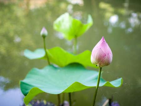Pink lotus bud - Pink lotus bud in pond