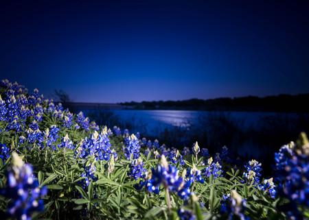 Texas Bluebonnets at Night