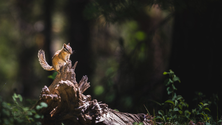 Chipmunk on a log in a forest Foto de archivo