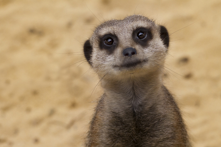 wide eyed: A wide eyed meerkat smiling and staring at camera