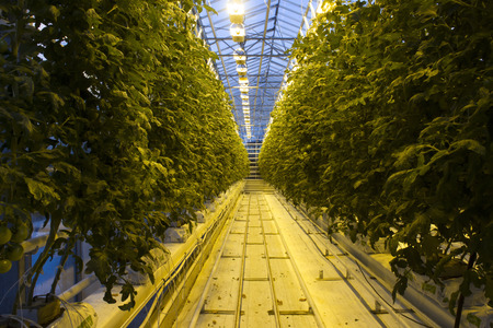 lighting: A tomato greenhouse farm in Reykjavik Iceland