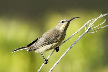 sunbird: Female orange breasted sunbird