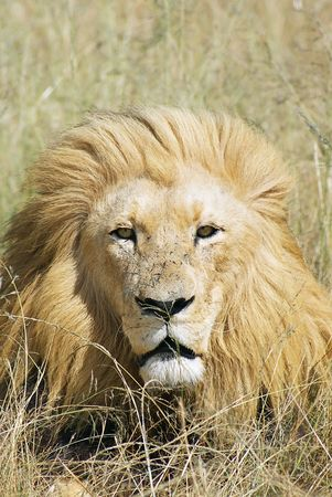 Male lion looking in the camera Stock Photo - 5391162