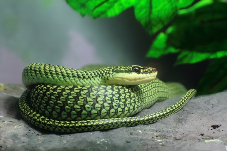 tree position: A Golden Tree Snake (Chrysopelea ornata) to curl oneself up on the rock Stock Photo