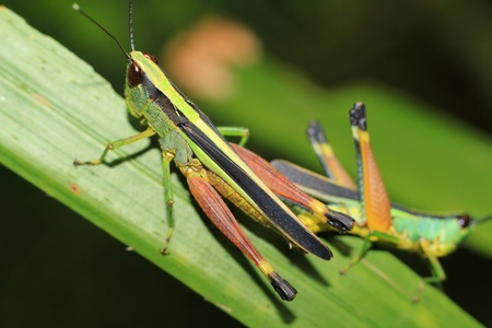 Closeup of the two grasshoppers  photo