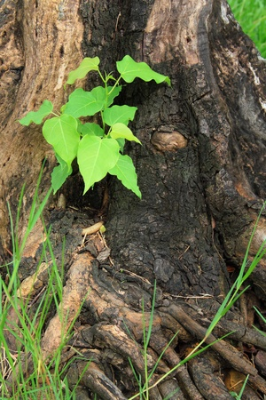 ecosavy: Young green tree seedling grow from the old stump (Think Green concept)view1 Stock Photo