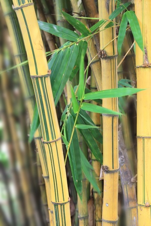 The Golden-Stripe Bamboo Stems with green leafs photo