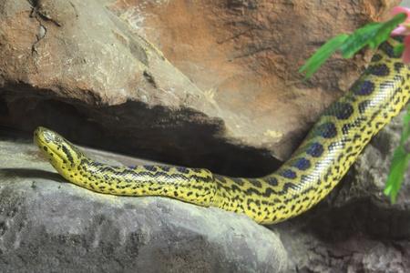 herpetology: Yellow Anaconda [ Eunectes notaeus ], The body is yellow with black patterns. Males are smaller than female. Non poisonous.