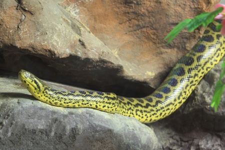 Yellow Anaconda [ Eunectes notaeus ], The body is yellow with black patterns. Males are smaller than female. Non poisonous.