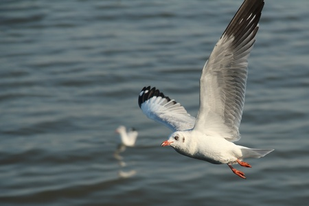 wingspread: Seagull flying on the sea in evening. Stock Photo