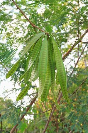 Leucaena leucocephala or Herbal ipil ipil bean [Leucaena leucocepphala (Lam.) de Wit]