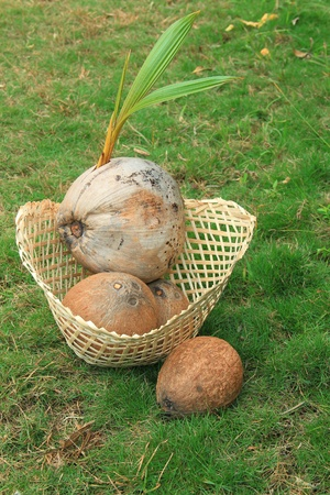 Sprouted  coconut  in bamboo basket on green grass photo