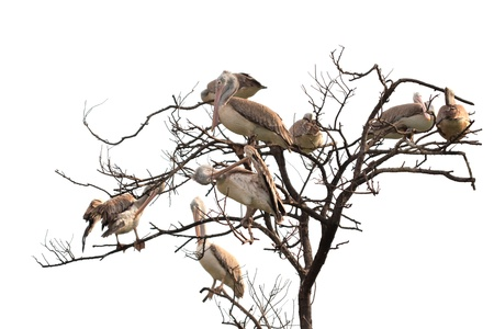 Great White Pelican  Pelecanus onocrotalus  on dry tree with white background Stock Photo - 14571662