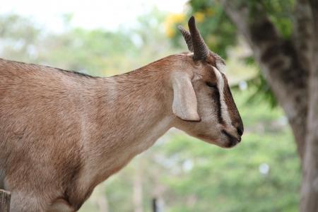 billy: Domestic Goat [Capra aegagrus hircus] on natural background.