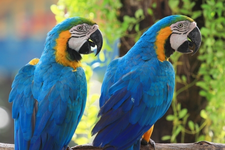 Macaws  blue and yellow macaw  on the nature background   photo