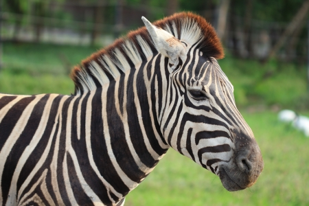 Close up of zebra  Equus quagga  on natural background photo