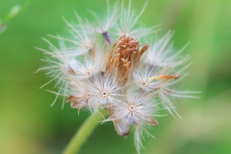 close-up of dandelion fluffy flower on green background photo