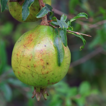 Pomegranate fruit on tree with green leaves  photo