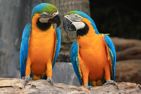 Macaws (blue and yellow macaw) on the nature background   photo