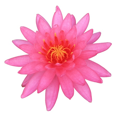 Pink lotus blossoms, Isolated on white background with clipping path  ready to use   photo