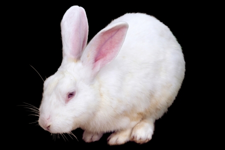 White Rabbit ,Isolated on black background  with clipping paths  Standard-Bild