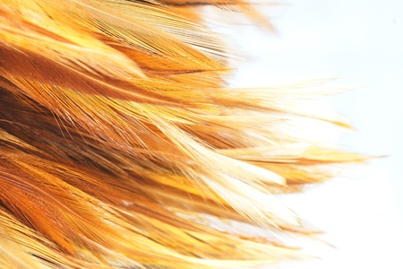 Feathers, cleaning, feather duster,Feather Brown