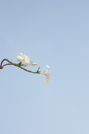 Flowers in Thailand, Plumeria. photo