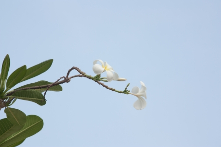 Flowers in Thailand, Plumeria. Stock Photo - 18007377