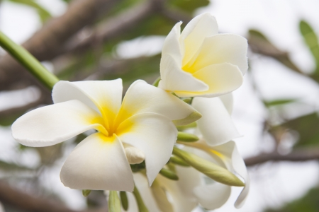 plumeria flowers in Thailand. photo