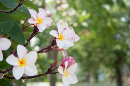 Plumeria in Thailand